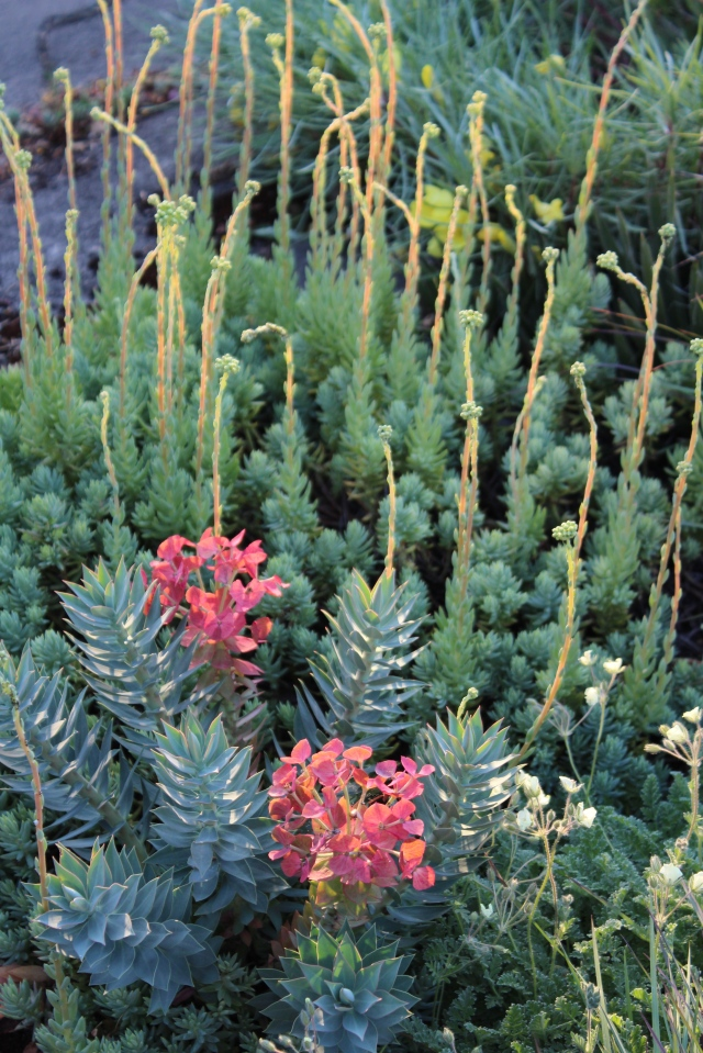 Can you imagine that none of this gets any supplemental water in the summer? Euphorbia rigida with those wonderful red bracts + something that looks like Sedum 'Blue spruce' = rockstar combo.