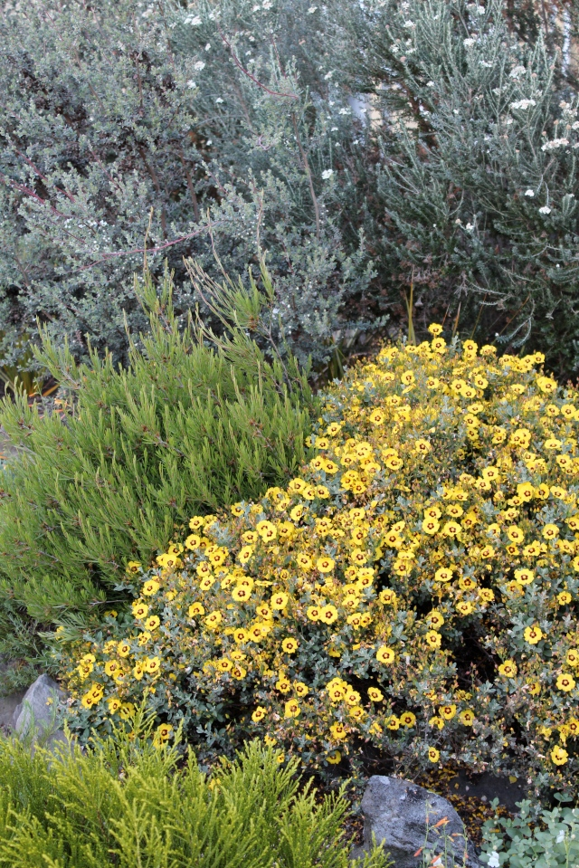 The cheerful yellows look so great against all that cool, blue-gray foliage.