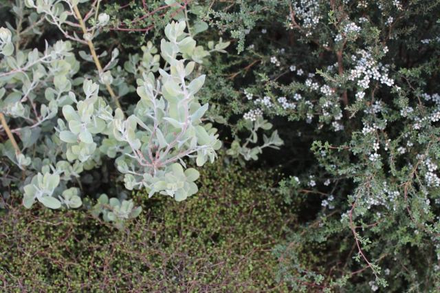 That silvery sheen against the netted framework of the Corokia-looking shrub (almost sure it's something else) with the little white flowers glowing against the gray is delicious!