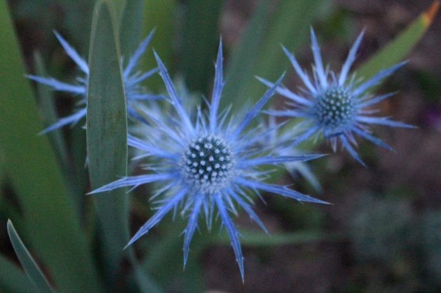 In the blue light of evening, Eryngium 'Sapphire biue' looks magnificently blue.