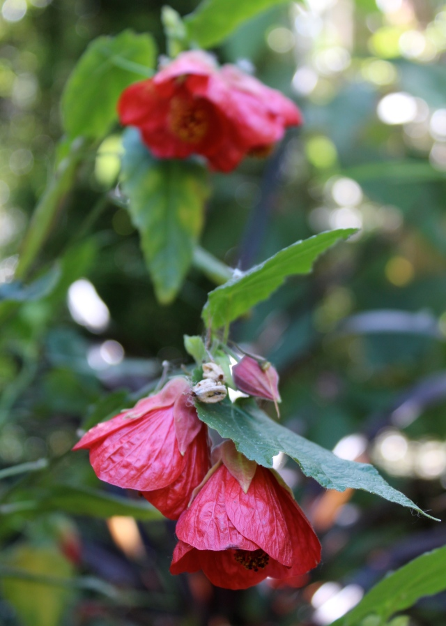 ... and the red bells of the Abutilon make me happy!