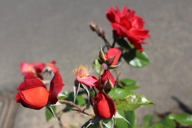 Hot Cocoa rose.