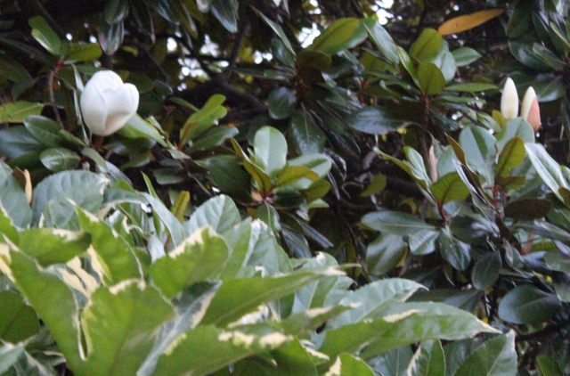 The Big Magnolia is also in full bloom. Creamy white, bowl-sized flowers that smell like a citrusy vanilla. Mmmm...