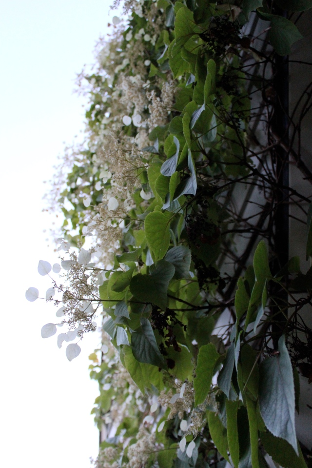 Finally , Schizophragma hydrangeoides 'Moonlight' scrambling up our wall, at dusk. By now, quite literally, in moonlight. Goodnight!