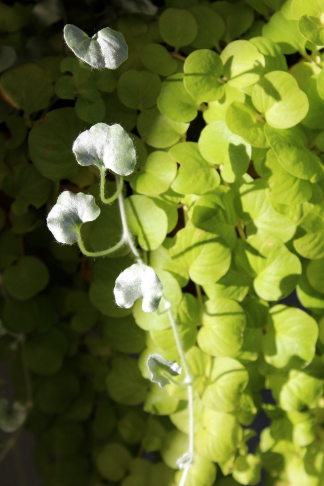 Can't get enough of how the silvery Dichondra contrasts with the Lysimachia. Do try this at home!