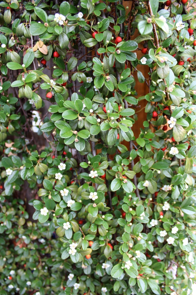 Not only is it evergreen, it has cute little flowers, and an abundance of red berries to boot!