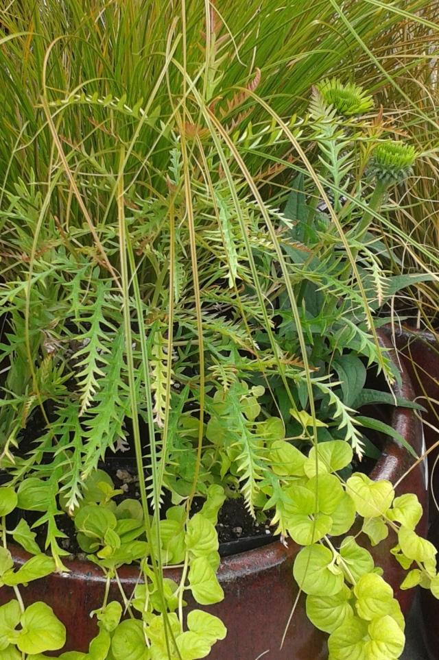 Grevillea 'Ivanhoe' and Echinacea 'Green Jewel'