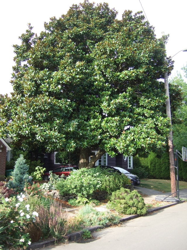 Here is the tree. It's pretty big. By now. the plants in front of it have filled in a lot more - to the point of taking over the sidewalk, according to my dear husband.