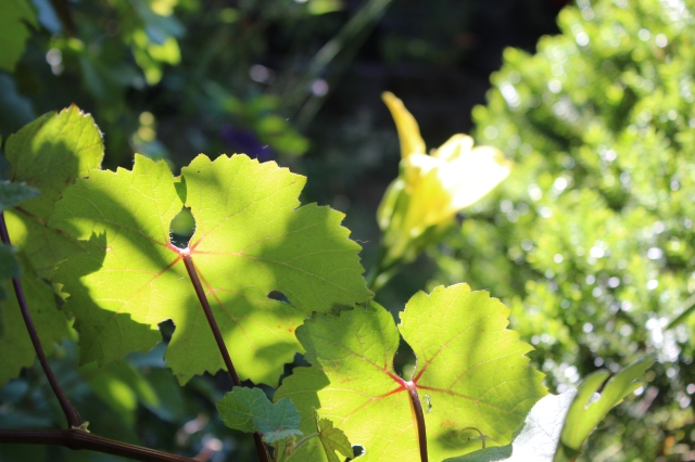 ... and the vigor of my ornamental grape (Vitis vinifera 'purpurea') is making me consider buying a machete.