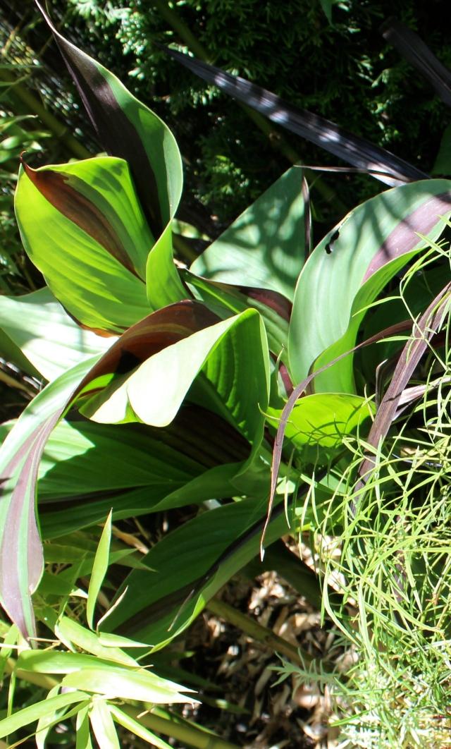 Canna 'Cleopatra' foliage