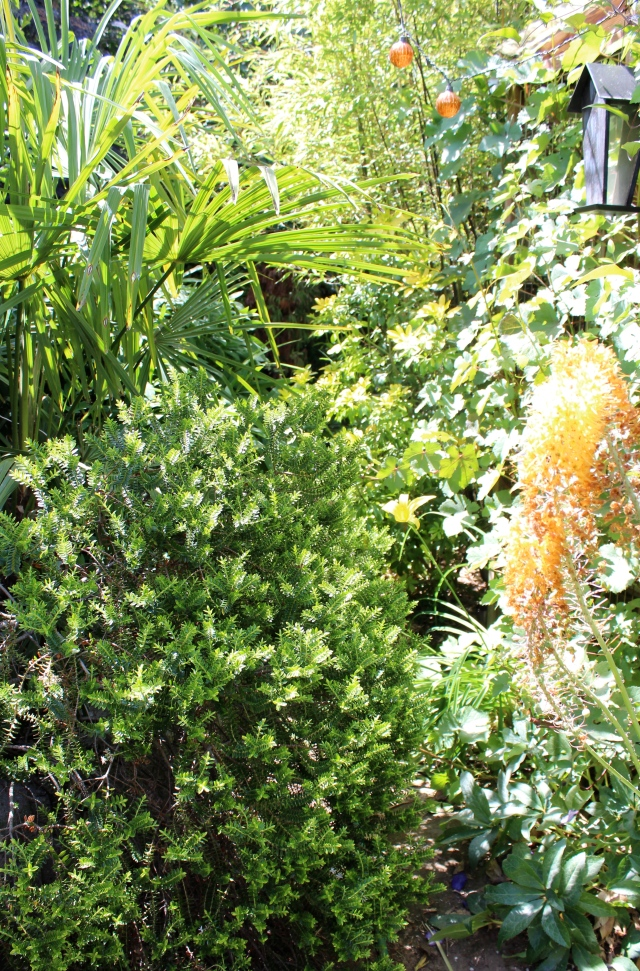 In the backyard, the Eremurus have faded...