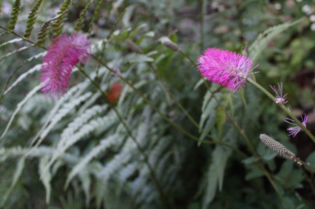 The hot pink of the Sanguisorba obtusa has by now faded to a creamy white. Hopefully it will set seed - it is such a cool flower.
