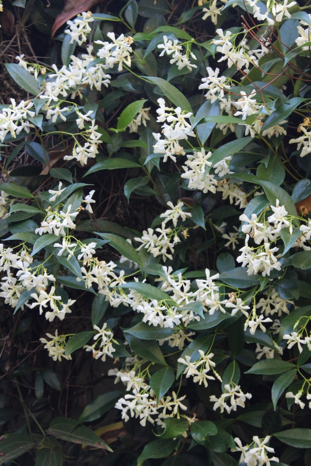 June is when the Star jasmine bursts into full bloom, and the fragrance fills the garden.