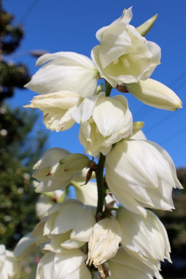 Yucca filamentosa flower