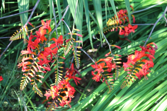 Crocosmia 'Lucifer' is in full bloom.