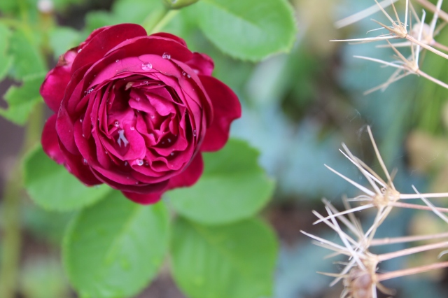 It seems to me it got less purple with its second bloom, but perhaps I'm imagining it. Rosa 'Twilight Zone'.