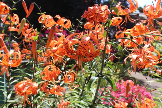 Orange tiger lilies