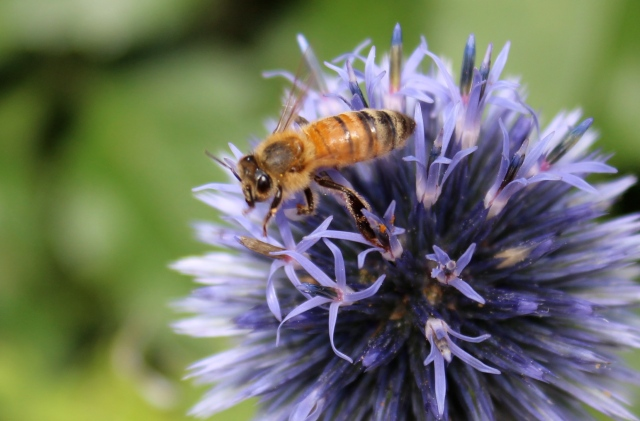 An Echinops (I have wanted one for years). This photo was from earlier today, but it's not the one I bought - it is not blooming yet. But I liked the bee portrait, so I thought I'd include it.