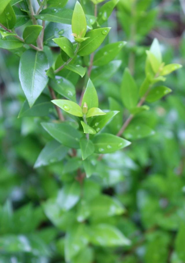 Myrtle leaves in rain