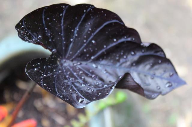 Black Colocasia leaf in rain