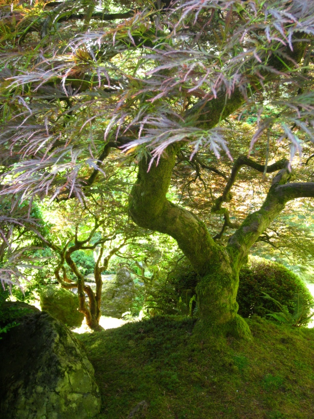 This maple at the Portland Japanese Garden has been carefully shaped to showcase its character and the essence of itself.