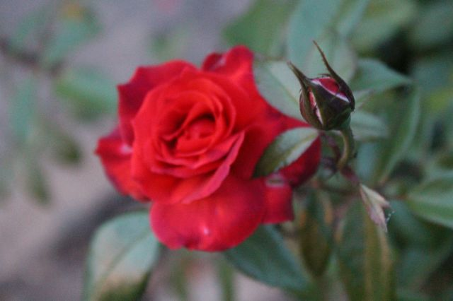 The 'Hot Cocoa' rose, however is the perfect color for its spot.