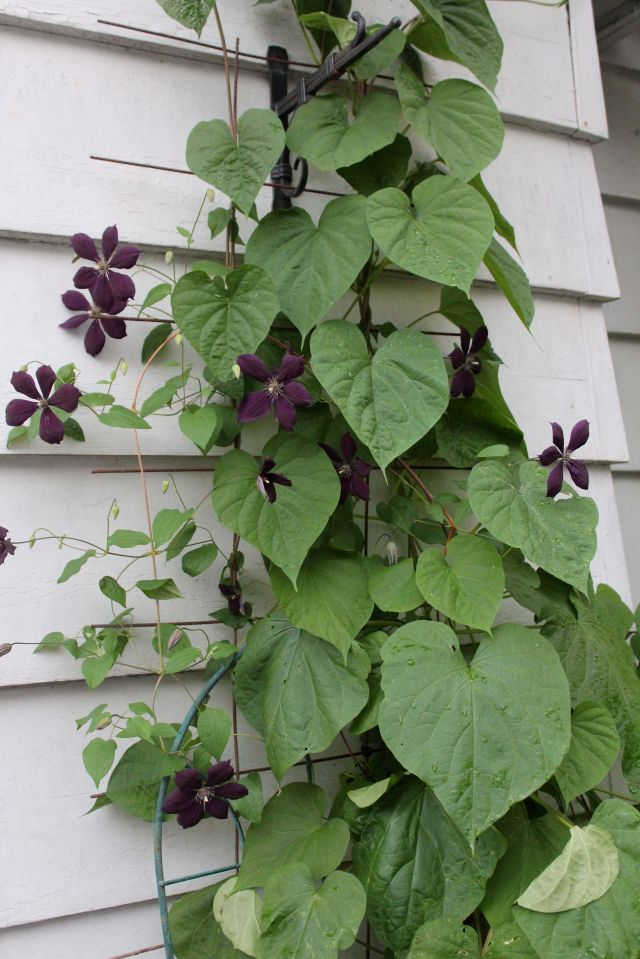 This Clematis 'Negritjanka' was just in bud when we left. I had cut it back hard pretty recently, and it rewarded me by blooming when we got home. Love its dark purple blooms. Here it is sharing trellis space with a Moon vine.