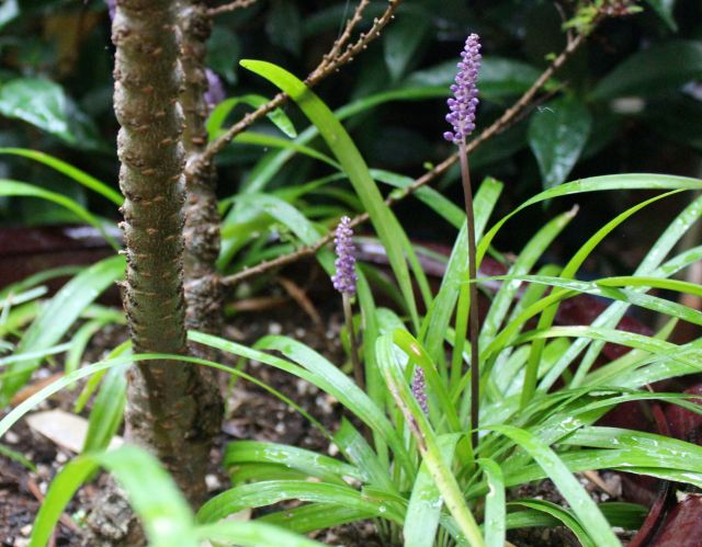 Smaller than many other varieties, this Liriope is now blooming. I liked it because it was smaller, and its flower are a really dark purple. I think it's 'Royal Purple' but am not sure.