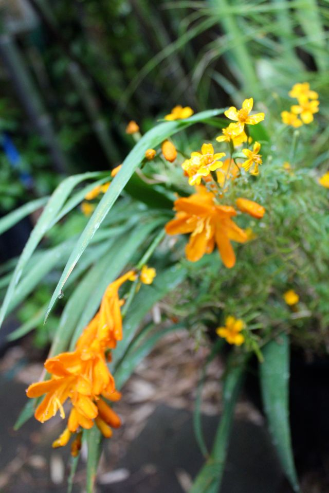 I've been playing with containers this summer. Here is part of one of them, although it's not quite ready for primetime yet. Even so, I appreciate both the Tagetes tenuifolia 'Tangerine Gem', and the Crocosmia. They are currently providing most of the interest as the rescued Canna 'Bengal Tiger' is still recuperating, and just starting to fill out. Soon, soon... In the meantime, the fragrance of the Marigold foliage is fabulous!