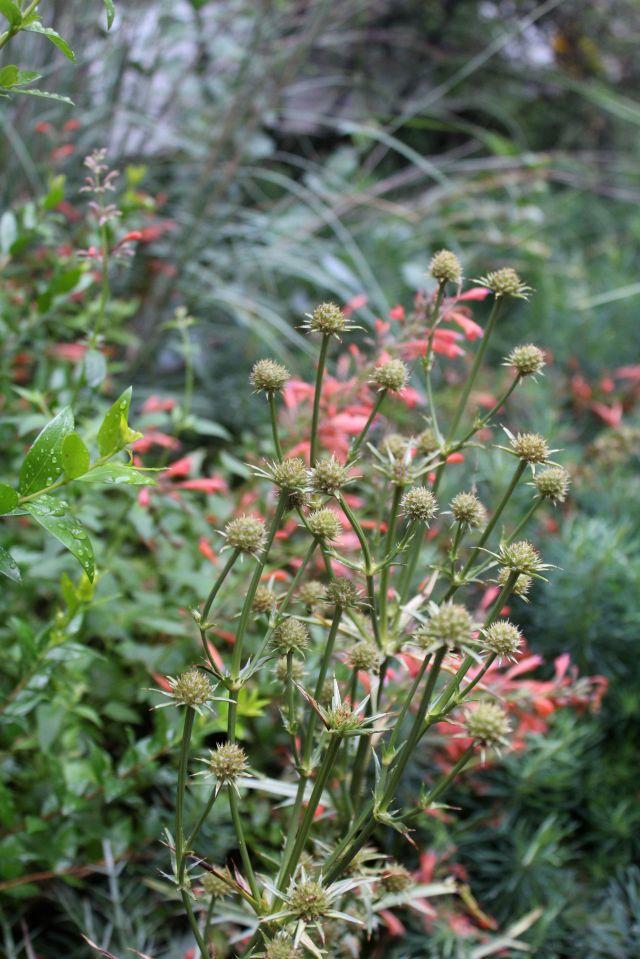 Eryngium venustum is still blooming.