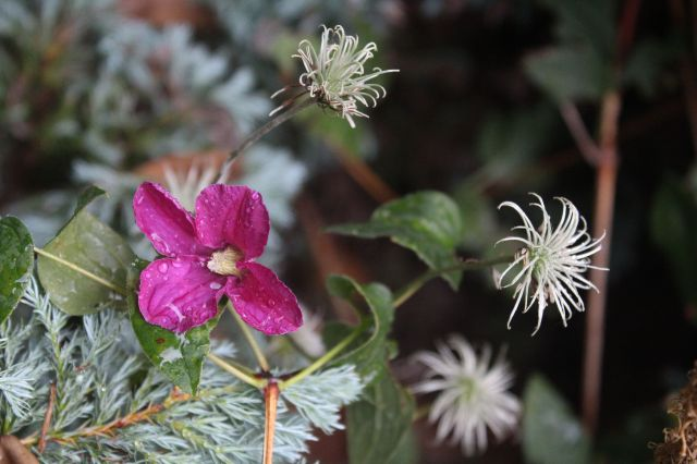 To finish off the Clematis representation, this dark pink one which is climbing through a false cypress (and whose name I've forgotten), is still putting out blooms. I like the seed heads too.