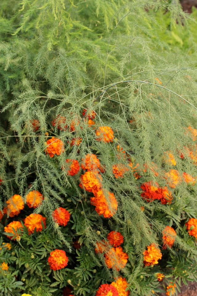 Asparagus and Marigolds - what a wonderful, wispy sight!