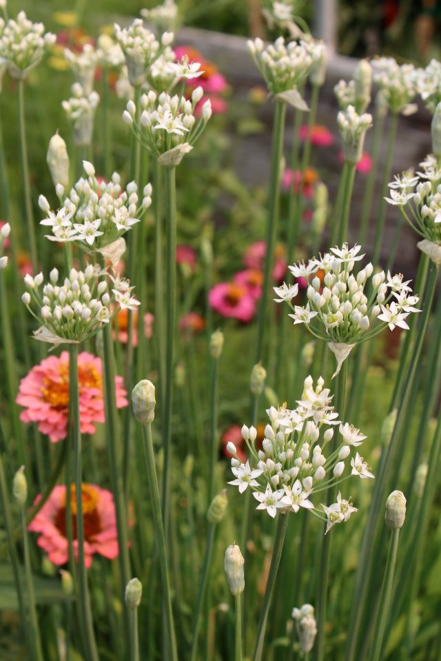 A stand of Garlic chives, with Zinnias glowing in the background.