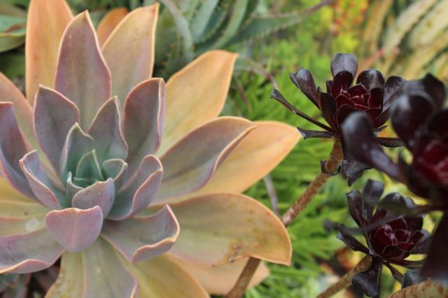 An Echeveria (I think) and Aeonium 'Schwartzkopf'.