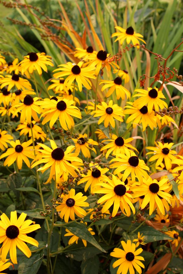 Rudbeckia and Crocosmia seed heads glowing beautifully together.