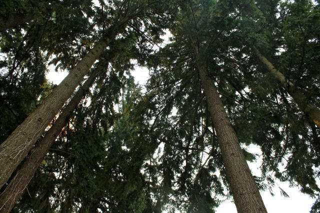 The towering firs made you feel like you were standing in a cathedral.