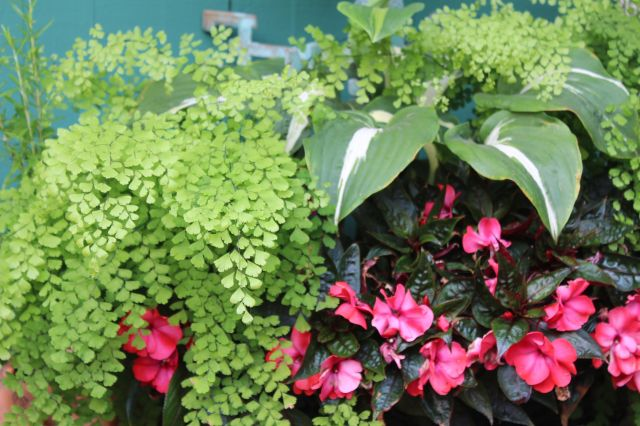 Adiantum and Begonias look so good together!