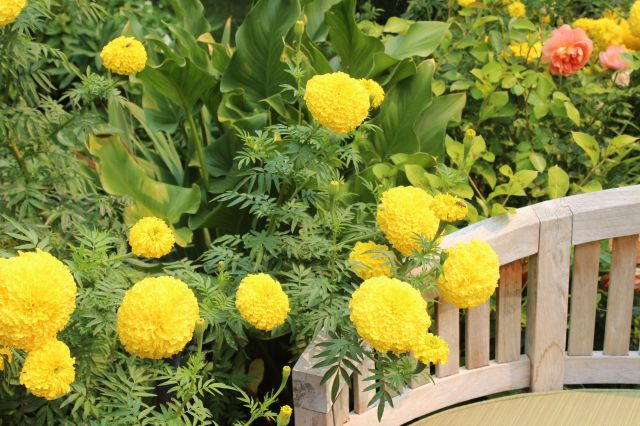 There was an abundance of annuals in this garden. I like the yellow balls of the Marigolds - they were everywhere!