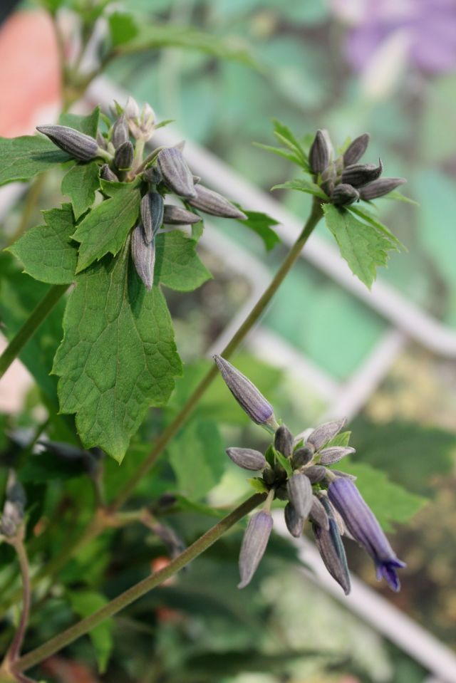 These buds looked interesting, and turned out to be a Clematis in shrub form.