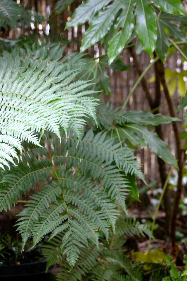 There is also something rather unintelligent about bringing home a frigging tree fern (Dickinsonia antarctica) when you KNOW it's not hardy, and you are going to have to find it winter shelter, or face living with its death on your conscience for the rest of your life. This did not bother me either.You should know, I pet those fronds regularly.