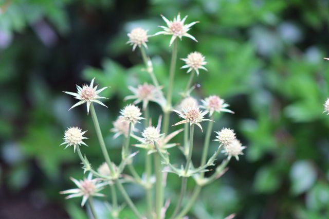 The starry little flowers of Eryngium venustum still light up the side bed.