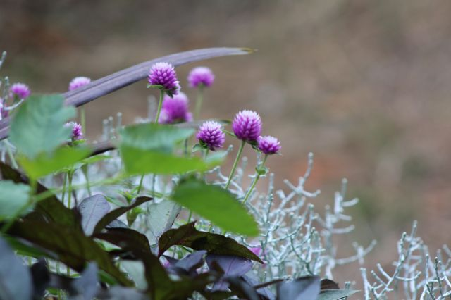 A little annual that has won my adoration - Gomphrena globosa. Here, it is planted with Sweet potato vine, and Silver bush. The green leaf is all that's left of a Japanese bottlebrush - Sanguisorba obtuse.