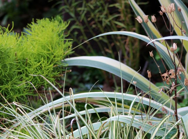 Santolina 'Lemon Fizz' and Iris pallida have fared this summer better than the Carex 'Evergold' and the sad-looking stunted Amsonia hubrichtii with the toasted leaf tips.