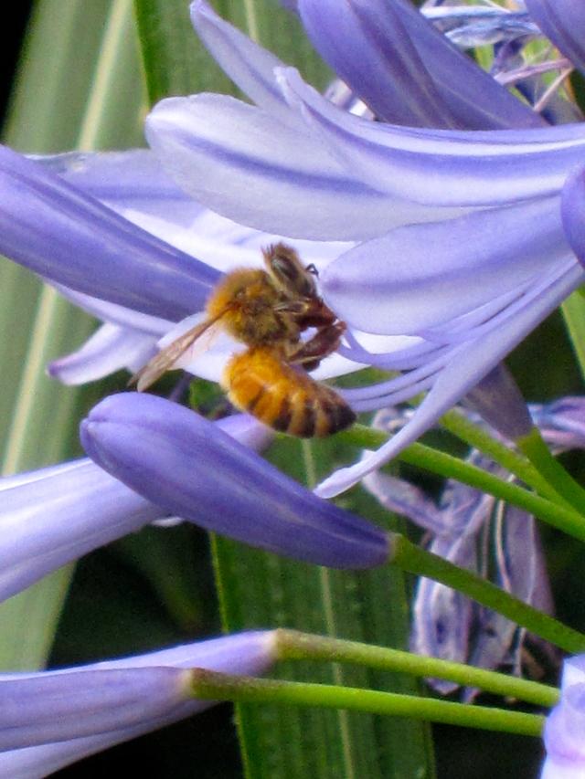 Bee exploring Agapanthus