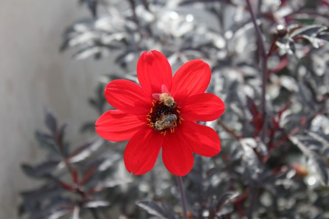 Dahlia 'Bishop of Llandaff' and bees