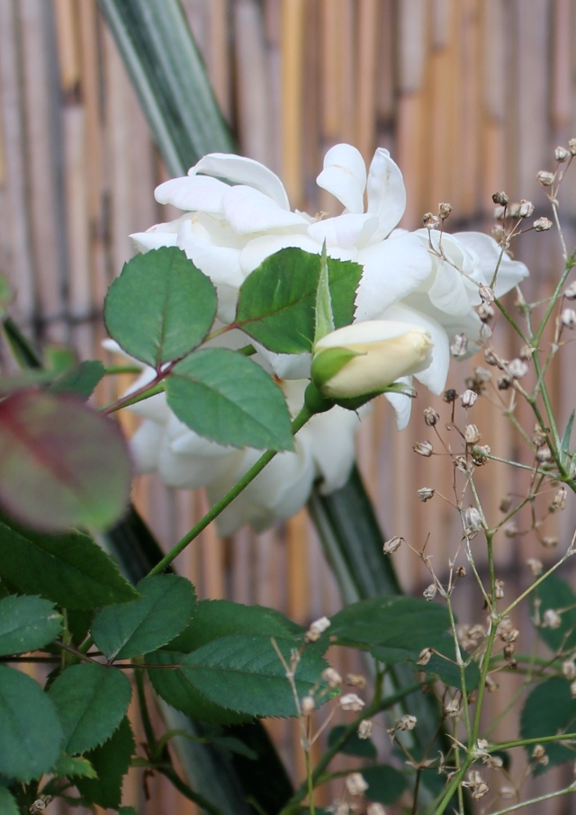 'Starla' Rose