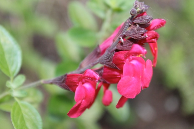 Yet another Salvia - this one is more of a true red.