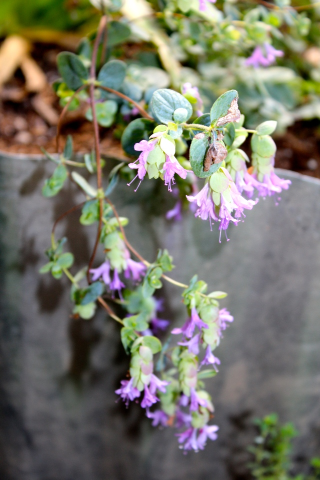 Ornamental oregano 'Purple Falls' draping over the edge of a planter.