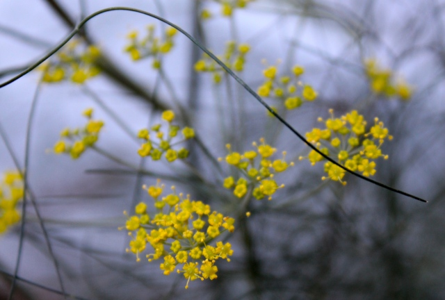 The golden yellow of the Bronze fennel flowers look so good against its wispy black foliage.
