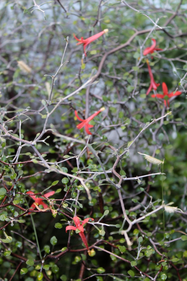 Here a nearby Corokia cotoneaster has broken their fall, and they have gotten caught up in its webby branching structure. Love it!